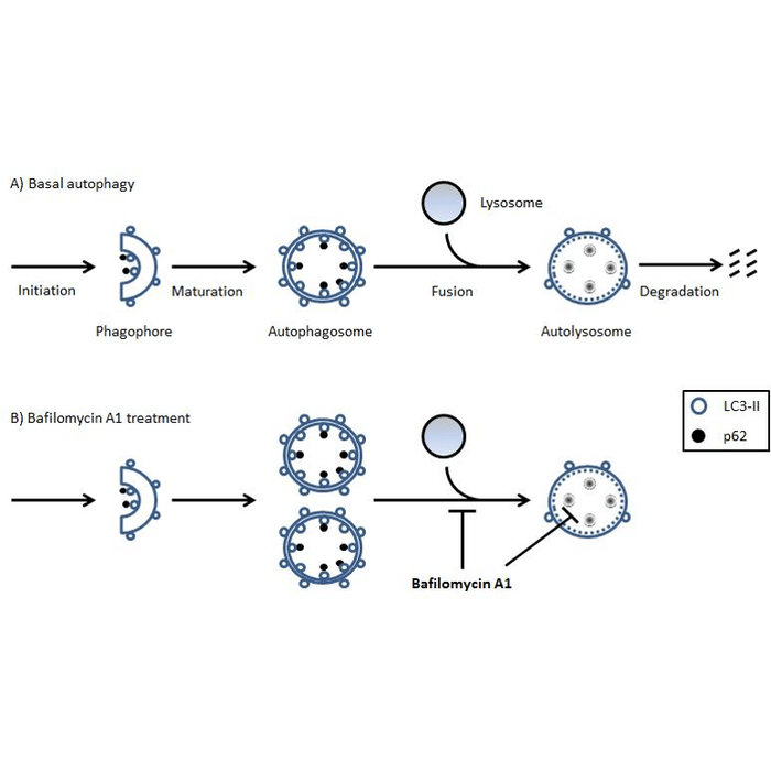 Autophagy Flux Detection Kit StressXpress® (SKT-135
