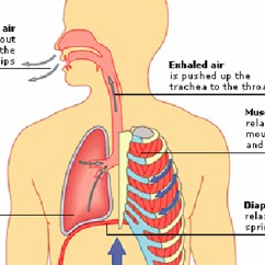 Human Heart And Lungs Diagram Hand Bones Diaphragm Engine Auto Parts Catalog