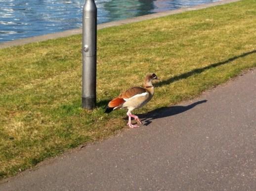 Niederrader Ufer - Eine Ente
