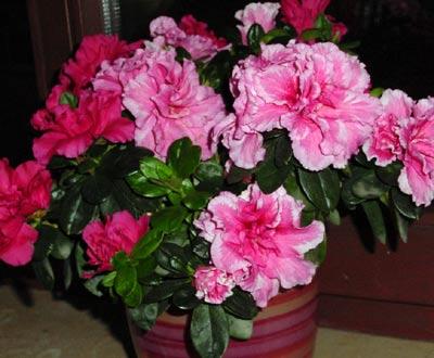 Azalee mit verschiedenfarbigen Blüten / Azalea, varying colours