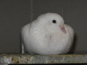 White Carneau Pigeon