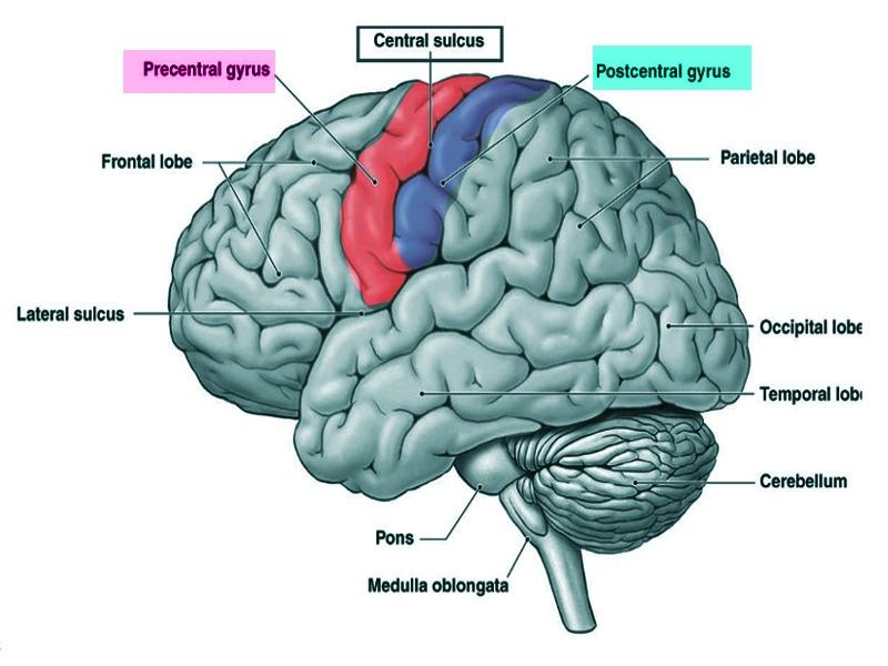 Brain surface map
