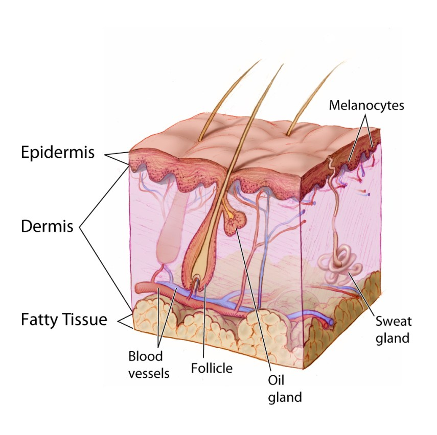 The image depicts the skin layers and its structures