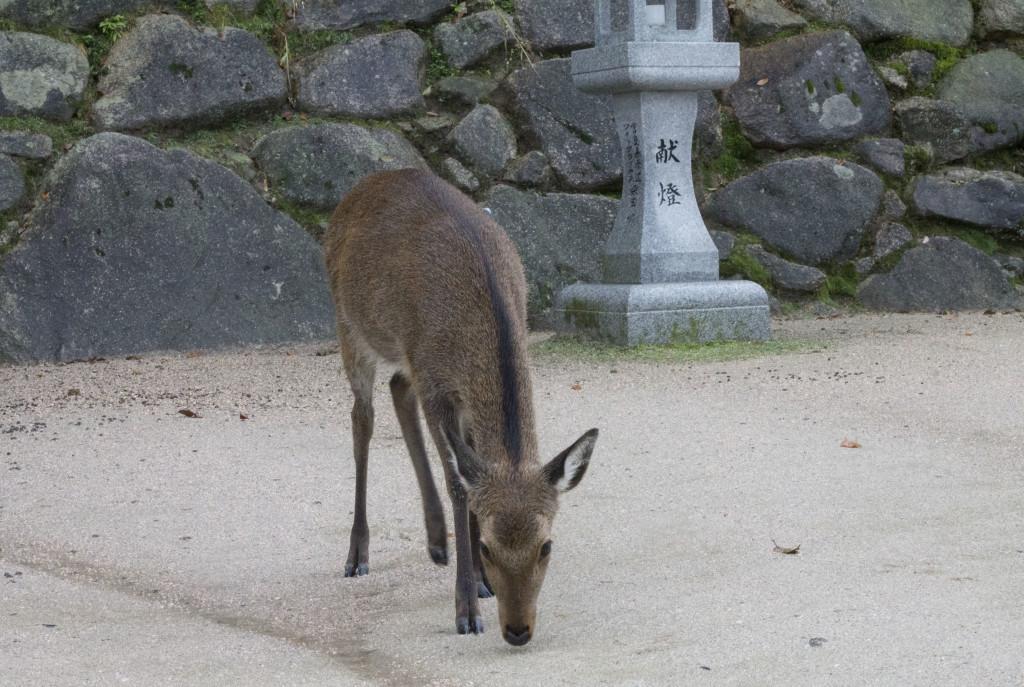 Deer in Miyajima