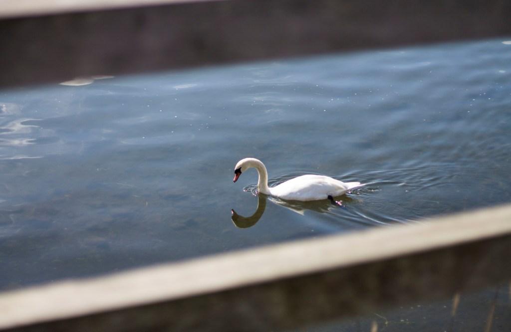 Swan at Lake Yamanaka