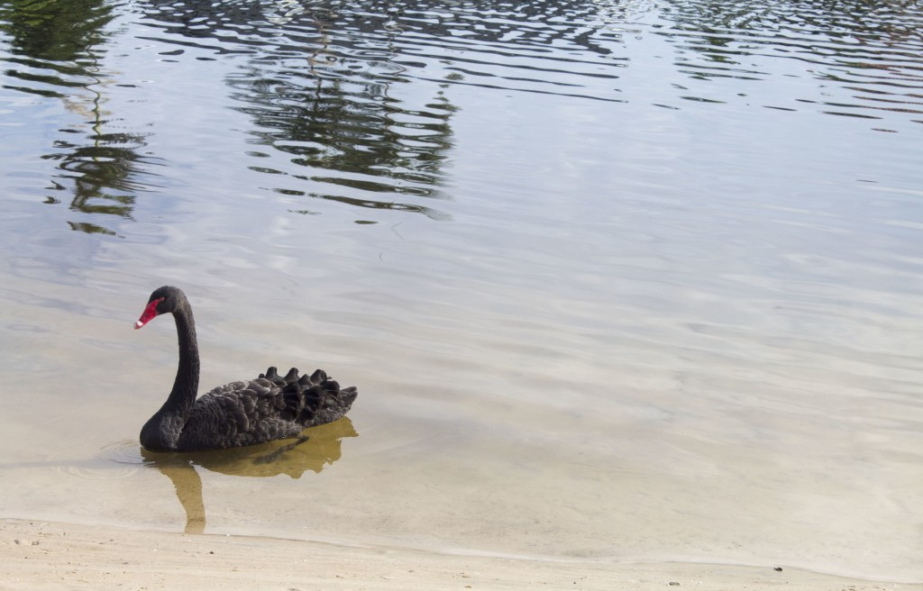 Black swan swimming by the back of the house