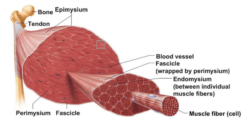Anatomy of a muscle-tendon unit
