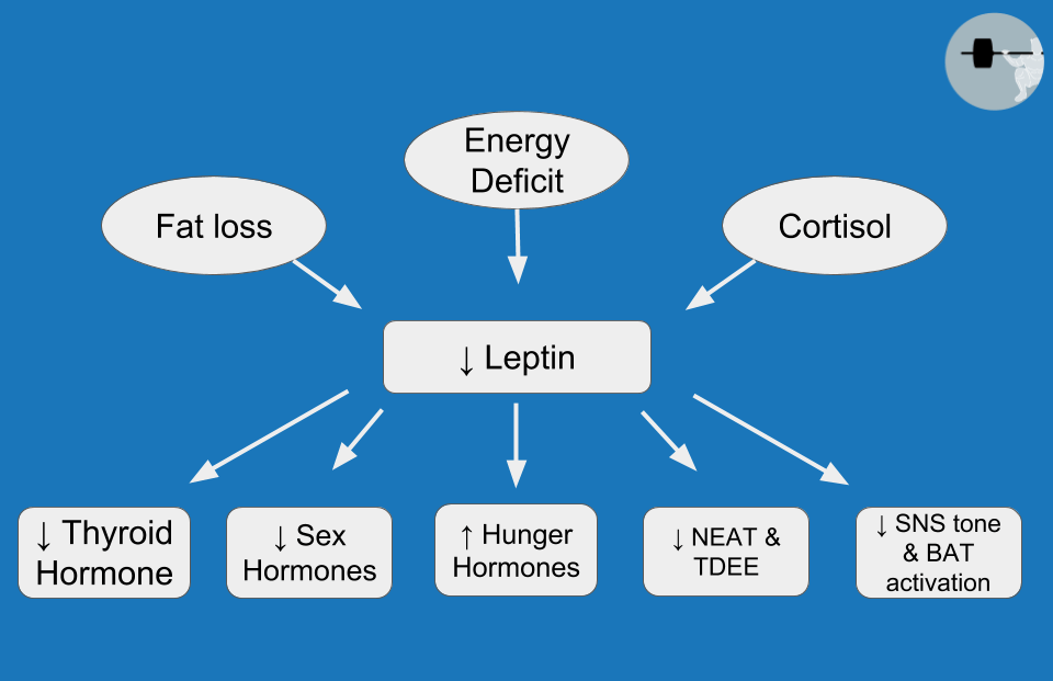 Leptin role in metabolic adaptation