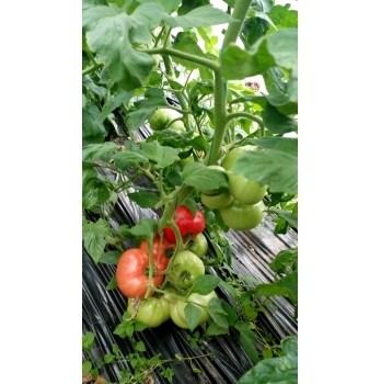 Seminte tomate Aphen F1(250 sem) Clause
