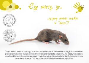 Ciekawostki, hodowla szczurów szczury umieją wąchać w stereo