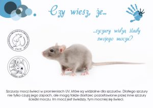 Ciekawostki, szczury widzą ślady swojego moczu, hodowla szczurów