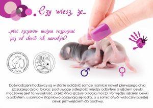 Ciekawostki, hodowla szczurów płeć szczurów można rozpoznać od chwili narodzin