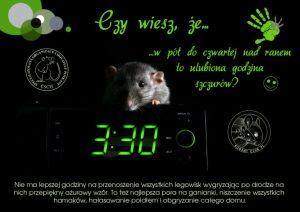 Ciekawostki, hodowla szczurów w pół do czwartej nad ranem to ulubiona godzina szczurów