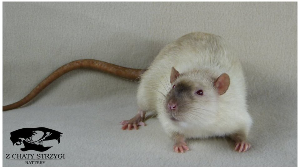 szczur, rat, Z Chaty Strzygi, rodowodowy, rasowy, point, siamese, syjam