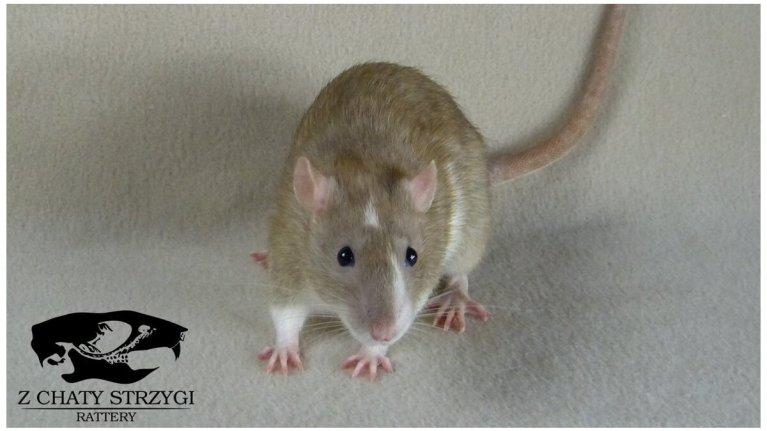 szczur, rat, Z Chaty Strzygi, cinnamon, blazed, brązowy, rodowodowy, rasowy