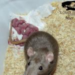 szczury, oseski, młode szczury, miot z hodowli