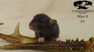 szczur, rat, Z Chaty Strzygi, dumbo rodowodowy, rasowy, czarny black szczur