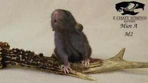 szczur, rat, Z Chaty Strzygi, rodowodowy, rasowy, czarny black szczur dumbo