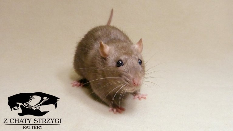 szczur, rat, Z Chaty Strzygi, mink, brązowy, rodowodowy, rasowy, standard, self