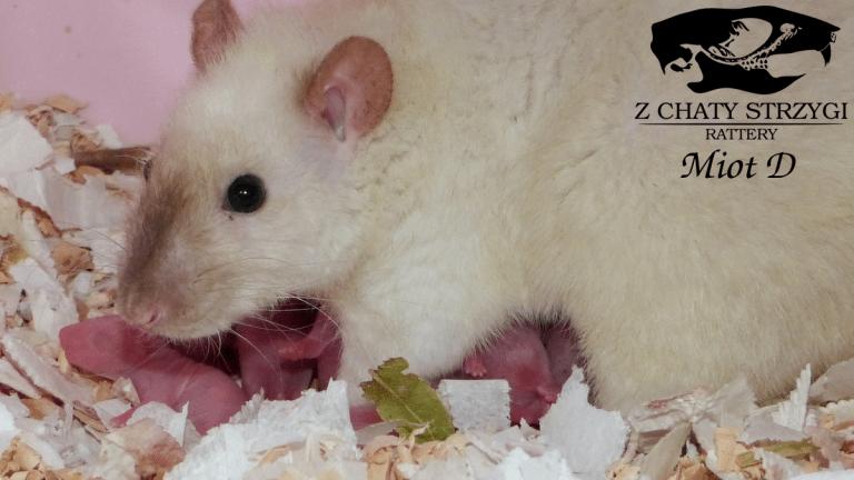 samica, hodowla szczurów rodowodowych, oseski, maluszki, szczury, rats, odchów młodych szczurów, siamese seal point, syjam, szczur syjamski