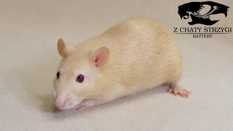 szczur, rat, Z Chaty Strzygi, rudy, fawn, topaz, silver fawn self, rodowodowy, rasowy, standard