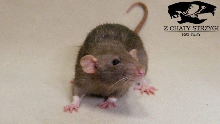 szczur, rat, Z Chaty Strzygi, mink, brązowy, rodowodowy, rasowy, dumbo