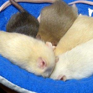 wady szczurów, jakie szczury mają wady, kolory havana, fawn, topaz rudy szczur russian fawn z chaty strzygi rattery szczury z hodowli rodowodowej rasowe