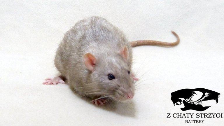 szczur, rat, Z Chaty Strzygi, dark pearl, self, brązowy, rodowodowy, rasowy