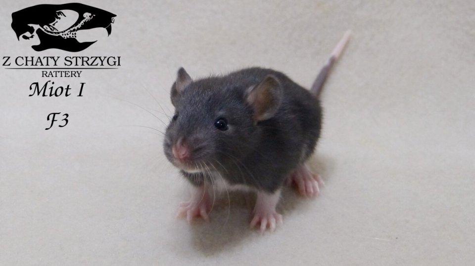 szczur, rat, Z Chaty Strzygi, rodowodowy, rasowy, black czarny znaczenie na brzuchu berkshire varieberk