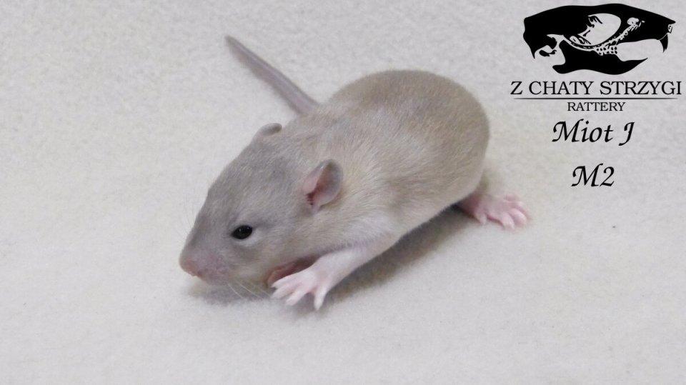 szczur szczury rat hodowla domowa Z Chaty Strzygi rodowodowy rasowy siamese point syjamski