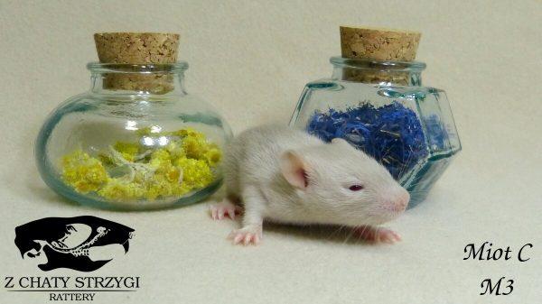 szczur, rat, Z Chaty Strzygi, point, siamese, syjam, rodowodowy, rasowy, russian blue, seal,