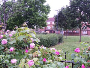Roses in Barking