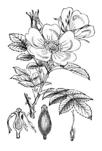 Rose Rosa Philippine Alternative Medicine Herbal