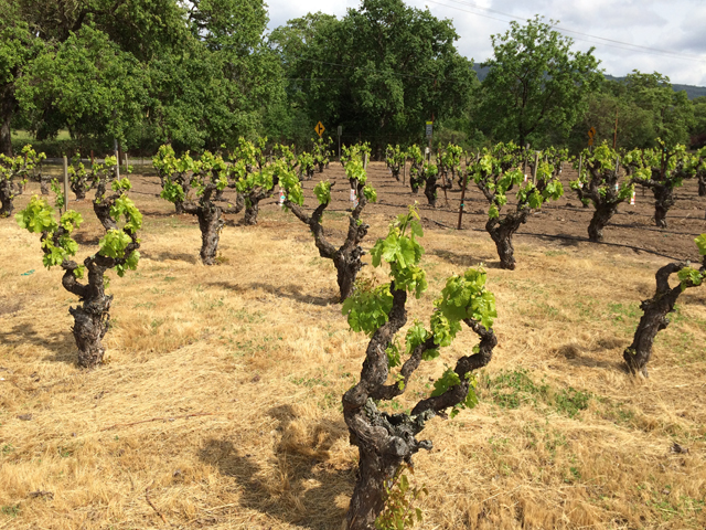 lorenzo-petroni-lucca-italy-dreamed-becoming-california-vintner