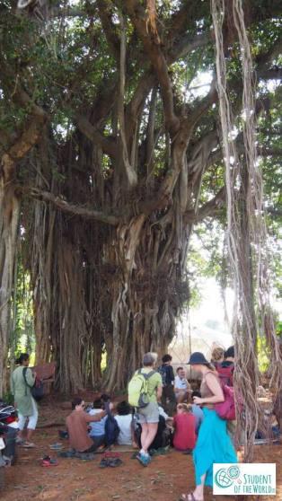 Auro Orchard, Banjan Tree
