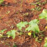 Pumpkin growing in red soil