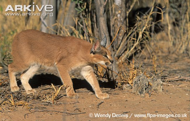 El Caracal es un bellí.. Animales -