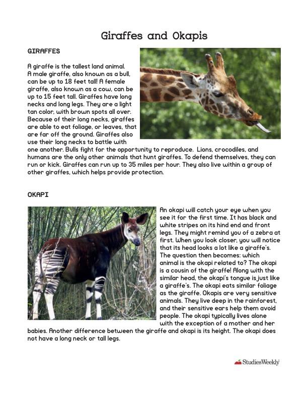 Giraffes and Okapis Studies Weekly Article