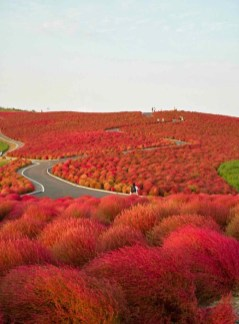 hitachi-seaside-park-japon3