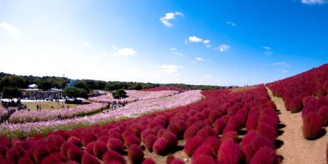 Kochia - Hitachi Seaside Park, Japan