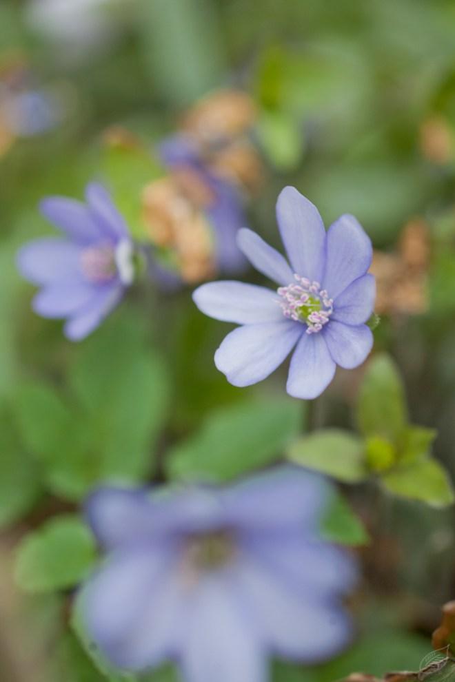 Leberblümchen, Frühling, Natur