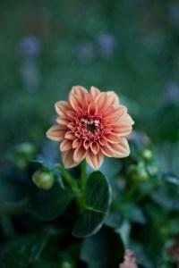 Dahlie Gartenfotografie
