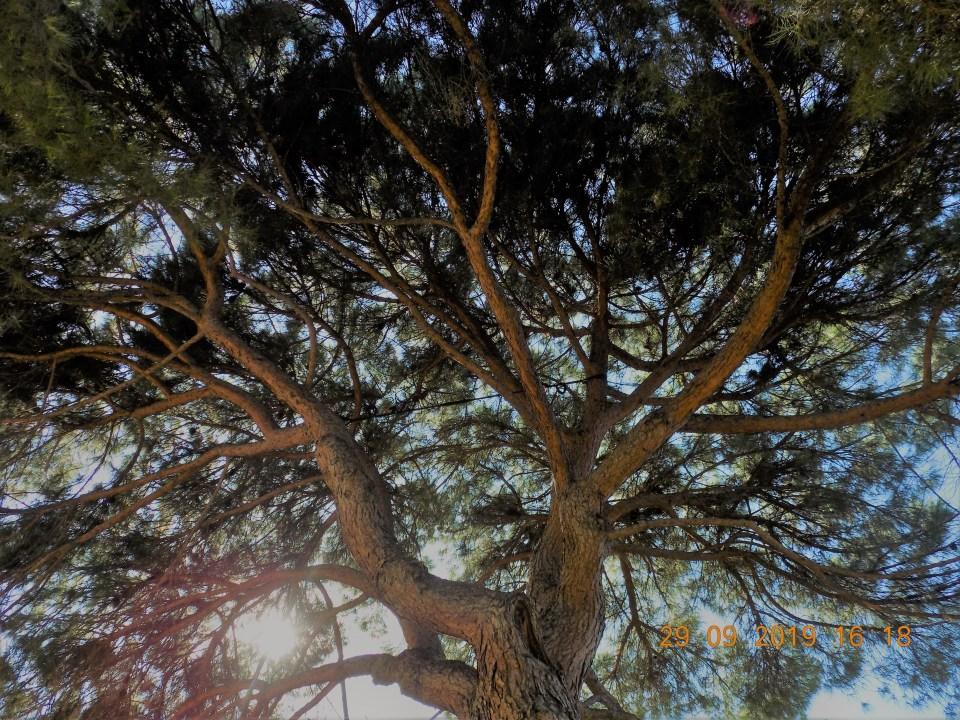 Consolidamento su pino domestico