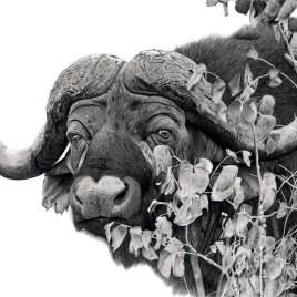 The Studio Art Gallery - Cape Buffalo in Shrub Mopani by Craig Ivor