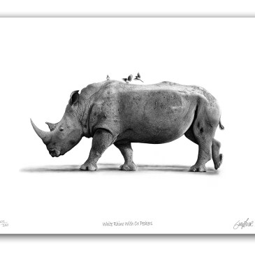 The Studio Art Gallery - Paper Print - White Rhino With Ox Peckers