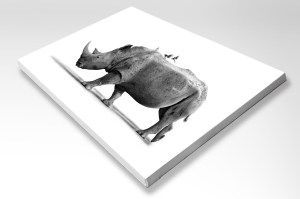 The Studio Art Gallery - Stretched Canvas - White Rhino with Ox Peckers