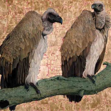 The Studio Art Gallery - Cape Vultures by Marc Alexander