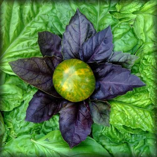 """Featuring a Green Zebra Tomato with Basil """"Red Rubin"""" and a background of Lettuce Leaf Basil. The second in the series was also part of a salad at dinner on its creation day."""