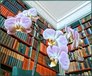 In George Eastman's Library with Phalaenopsis Fanmie Orange (Surf Song x Nobby's Pink Lady)
