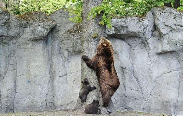 mamma-orsa-mostra-ai-cuccioli-come-si-fa